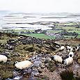 Sheep on Croagh Patrick