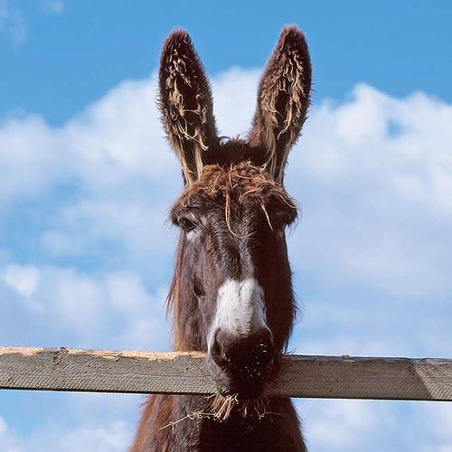 Donkeys Ears